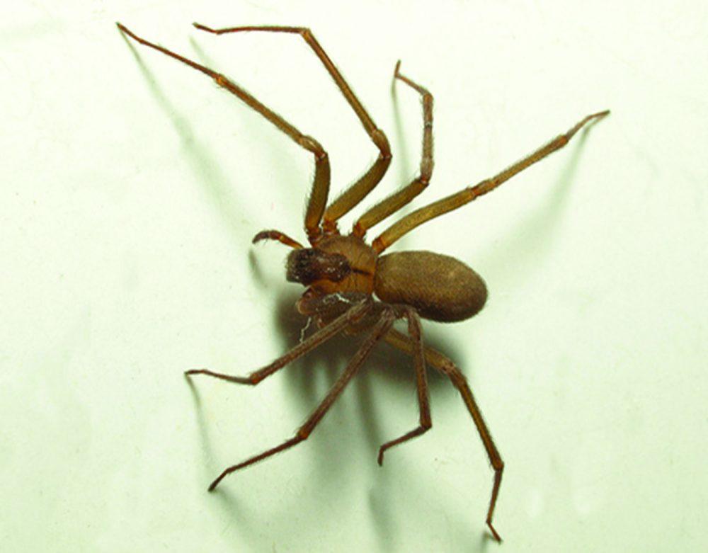 Arañas Reclusa marrón